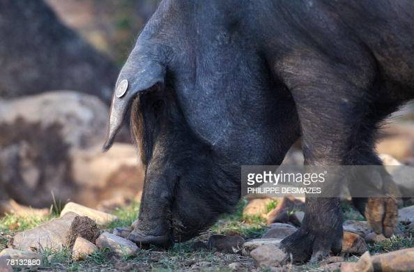 An Iberian pig stands in its enclosure at the Embutidos y Jamones Fermin farm in La Alberca near Salamanca 28 November 2007 The Spanish Jamon Iberico...