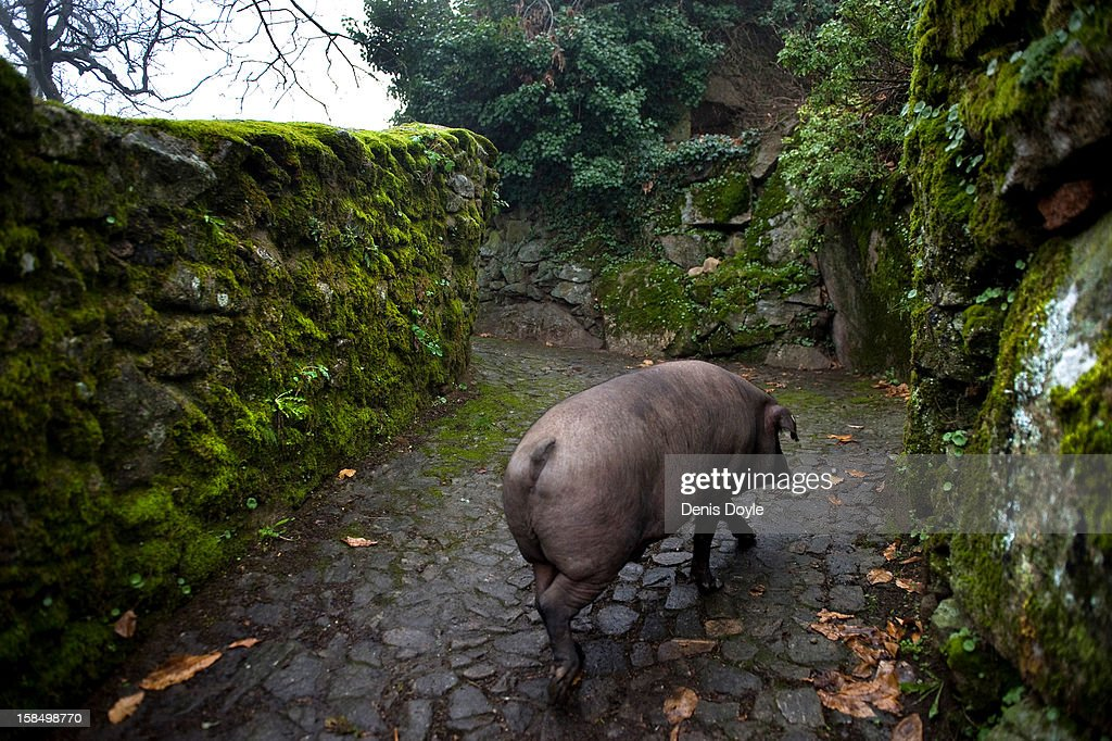 An iberian pig walks back to its pen in the village of La Alberca on December 14, 2012 near Salamanca, Spain. The pig is free to roam in the village until it is sacrificed on January 21st in a village raffle with the proceeds going to a local charity. Dry-cured Iberian ham or Jamon Iberico is a favourite amongst Spaniards and producers are hoping for improved sales over the busy christmas period.
