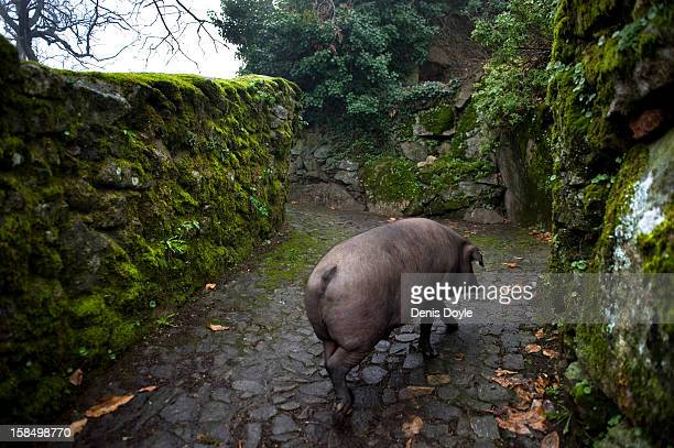 An iberian pig walks back to its pen in the village of La Alberca on December 14 2012 near Salamanca Spain The pig is free to roam in the village...