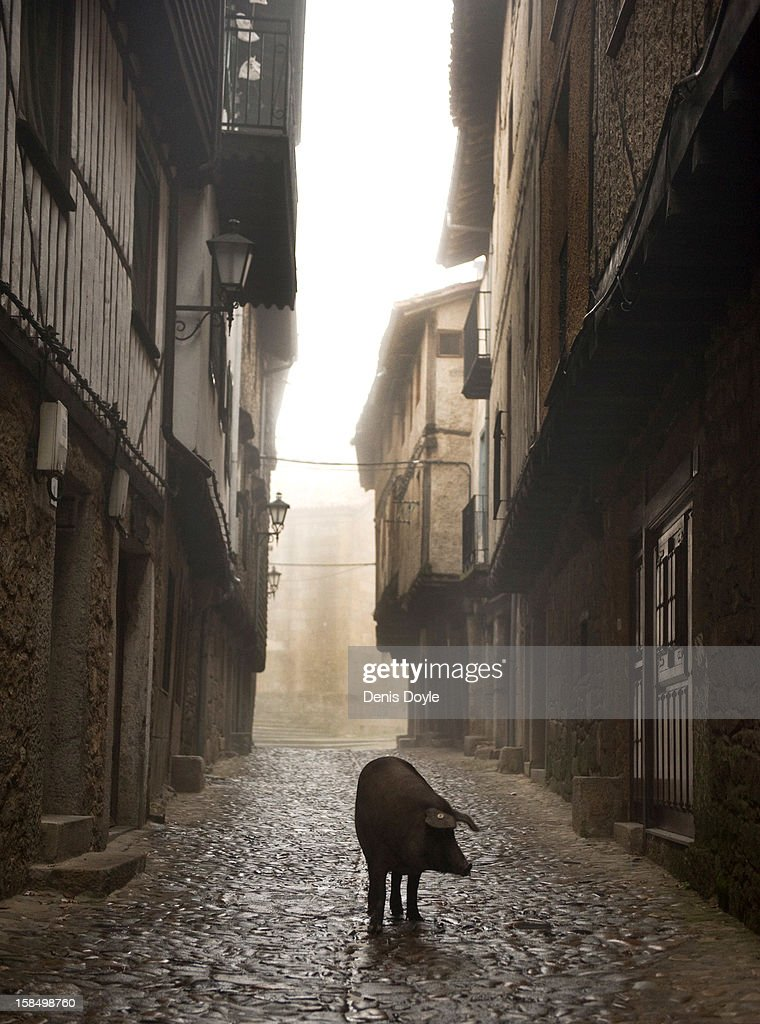An Iberian pig walks down a street in the village of La Alberca on December 14, 2012 near Salamanca, Spain. The pig is free to roam in the village until it is sacrificed on January 21st in a village raffle with the proceeds going to a local charity. Dry-cured Iberian ham or Jamon Iberico is a favourite amongst Spaniards and producers are hoping for improved sales over the busy christmas period.