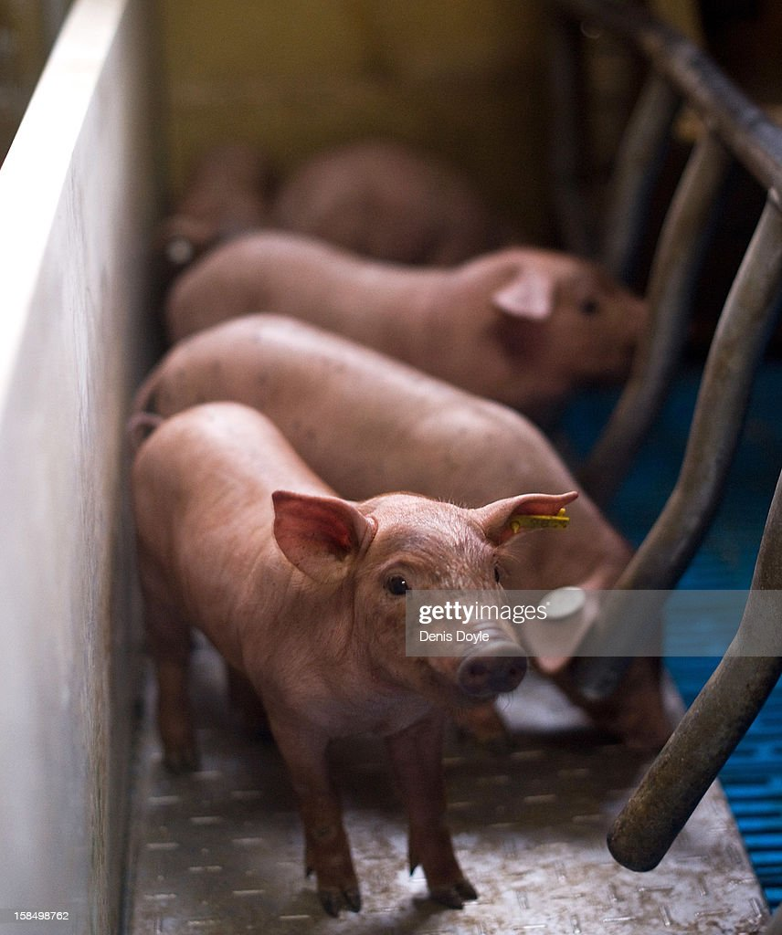 An Iberian piglet looks out from its pen at the Fermin Jamones farm in the village of La Alberca on December 14, 2012 near Salamanca, Spain. Fermin Jamones was the first Spanish company to be given an export licence for the lucrative United States market. Dry-cured Iberian ham or Jamon Iberico is a favourite amongst Spaniards and producers are hoping for improved sales over the busy christmas period. The jamon legs are usually dry-cured for up to three years after the pigs have been few on a diet of acorns in the last three months.