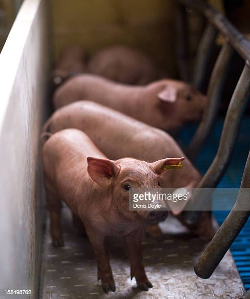An Iberian piglet looks out from its pen at the Fermin Jamones farm in the village of La Alberca on December 14 2012 near Salamanca Spain Fermin...