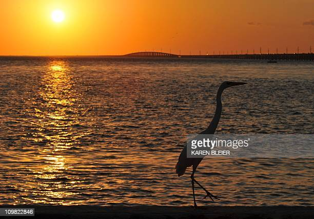 An Ibis is silhouetted as the sun sets in Marathon Florida in the Florida Keys February 20 2011 AFP PHOTO/Karen BLEIER