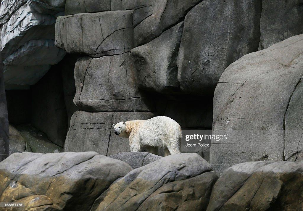 An ice bear walks through its enclosure at Hagenbeck zoo on May 16, 2013 in Hamburg, Germany.