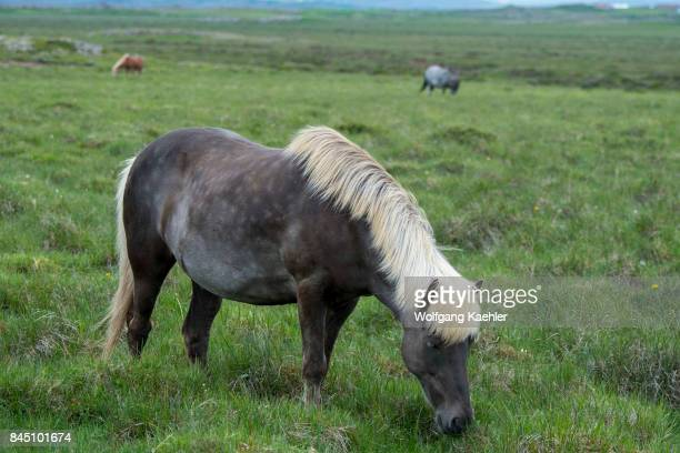 An Icelandic horse in a pasture near Borgarnes in western Iceland
