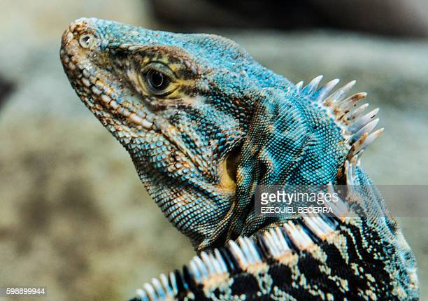 An iguana basks over a rock at Bahia Ballena Beach in Puntarenas about 230 km southwest of San Jose on September 2 2016 during the 8th Annual Whale...