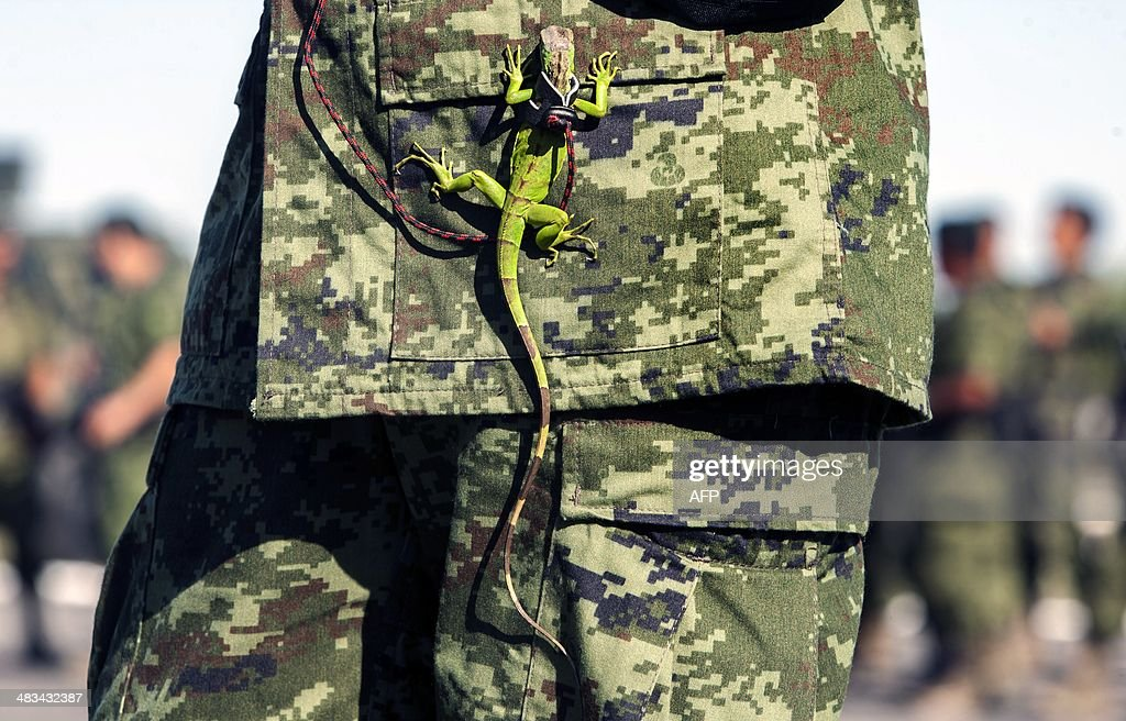 An iguana hangs from the uniform of a Mexican soldier during the burning of marijuana, heroin, cocaine and methamphetamine at a military base in Monterrey, Nuevo Leon state, on April 8, 2014. The Mexican Army burnt more than 17.5 tons of drug seized to groups of drug traffickers from the north of the country, reported a military authority. AFP PHOTO/Julio Cesar Aguilar