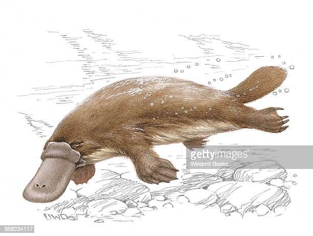 An illustration of a Duck billed platypus swimming in the water