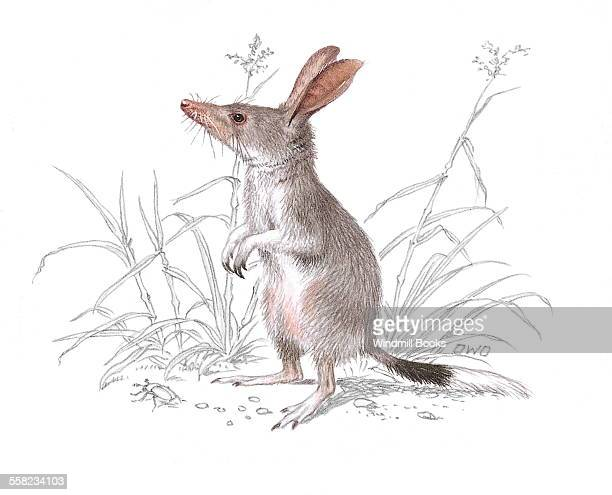 An illustration of a Greater bilby