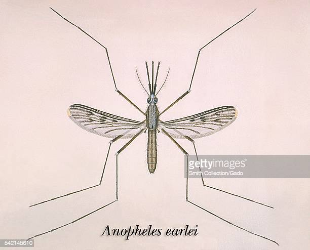 An illustration of an Anopheles earlei mosquito 1975 Anopheles earlei is found in woodland pools bogs marshes and along sluggish streams The vector...