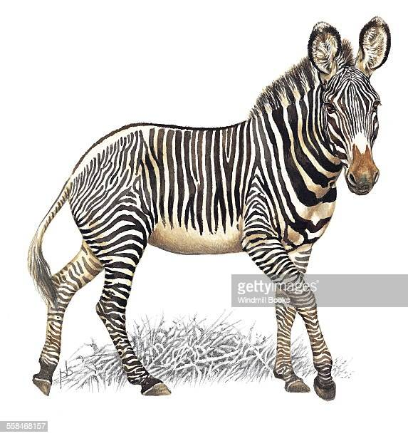 An illustration of an Grevy's zebra that has black and white stripes