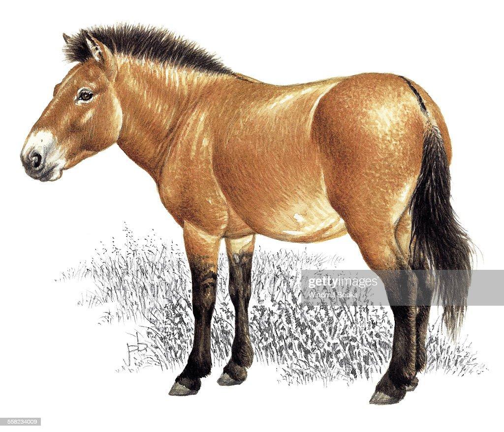 An illustration of an Mongolian wild horse