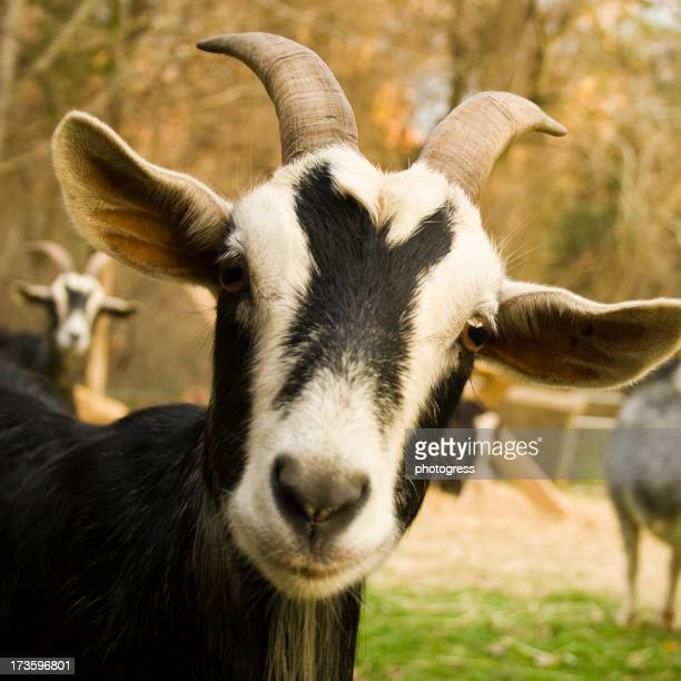 An image of a beautiful curious goat