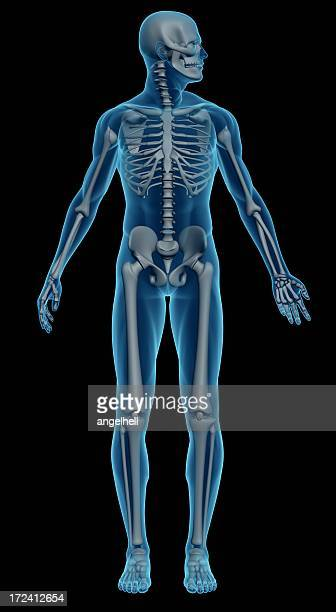 An image of a male skeleton on a black background
