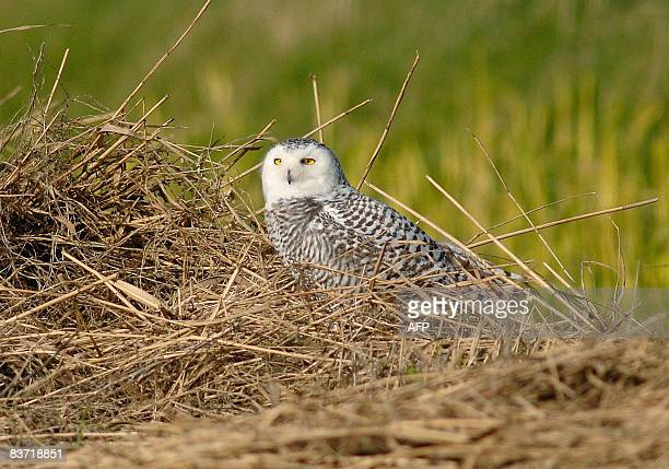 An immature female Snowy Owl is pictured on November 17 2008 on Texel an island in northern Netherlands The owl was discovered on the island on...