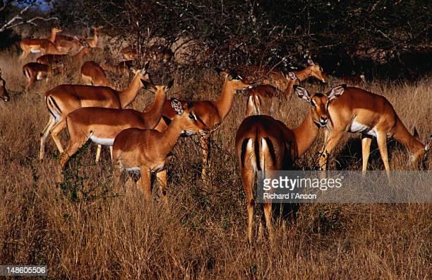 An Impala ( Aepyceros melampus ) herd