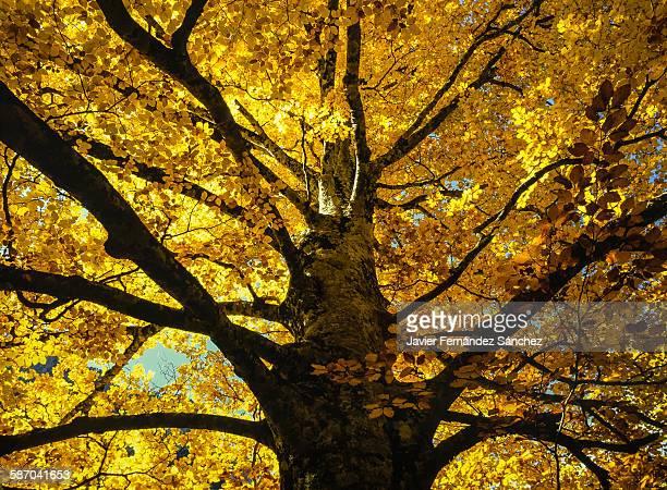 An impressive beech in autumn.