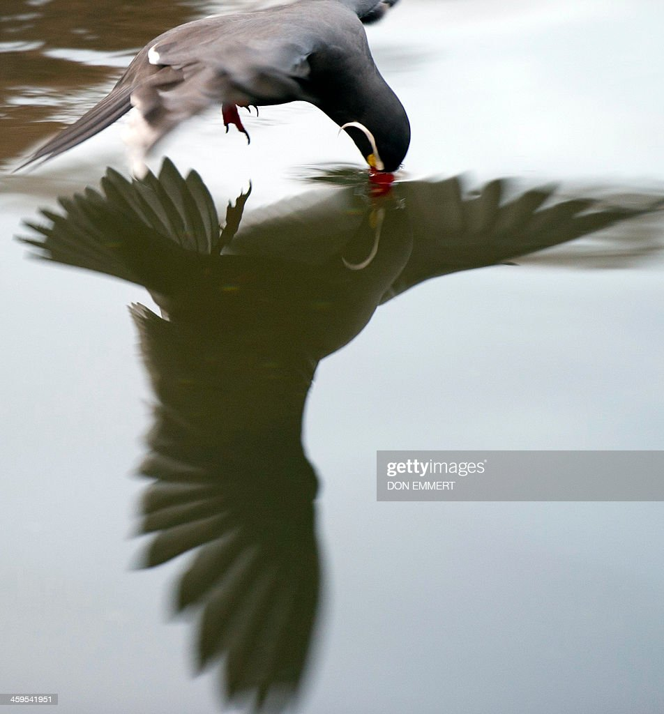 An Inca Tern swoops over the water at the Bronx Zoo on December 27, 2013 in New York. The beautifully plumaged bird breeds on the coasts of Peru and Chile. AFP PHOTO/Don Emmert