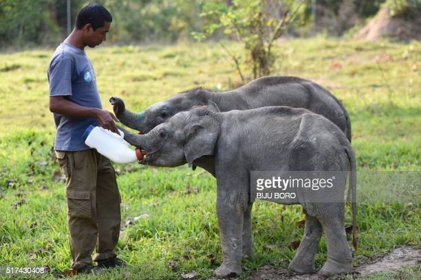 An Indian animal keeper feeds milk to young elephants that were rescued from two different areas in Assam at the Centre for Wildlife Rehabilitation...