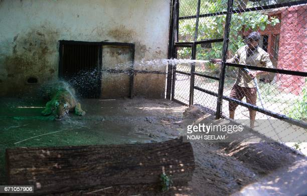 An Indian animalkeeper uses a hose to sprinkle water onto 'Shanker' a Bengal Tiger to cool him in a special enclosure at The Nehru Zoological Park in...