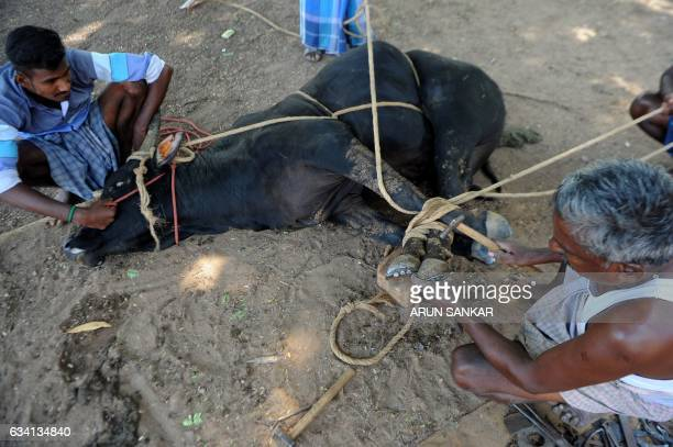 An Indian blacksmith puts a metal shoe on an Indian bull's hoof ahead of the Jallikattu bull taming event in the south Indian city of Madurai on...