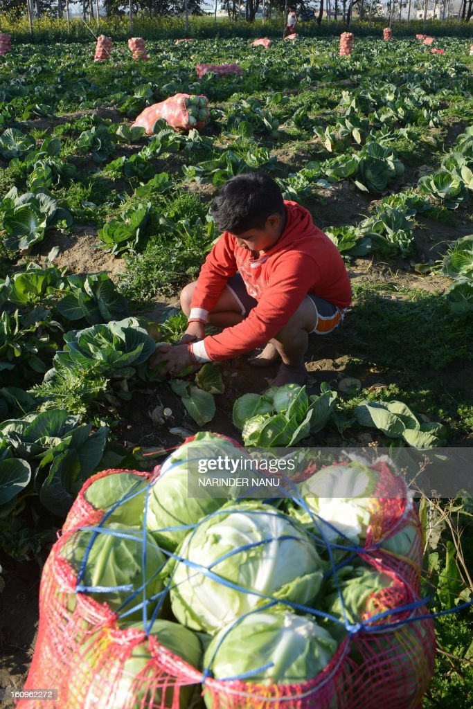 An Indian boy Akashdeep Singh works in a cabbage field on the outskirts of Amritsar on February 8, 2013. India's government said the economy will likely register its slowest annual growth in a decade and expand just 5.0 percent in the fiscal year ending in March, citing official estimates released February 7.