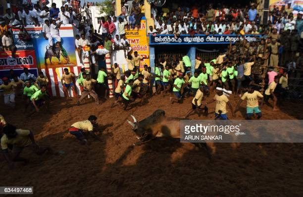 An Indian bull charges at participants during an annual bull taming event 'Jallikattu' in the village of Allanganallur on the outskirts of Madurai on...