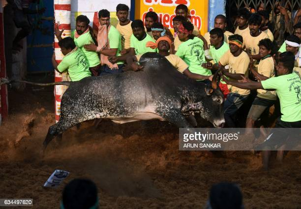 An Indian bull charges past onlookers at an annual bull taming event 'Jallikattu' in the village of Allanganallur on the outskirts of Madurai on...