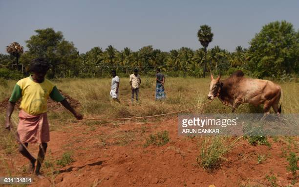 An Indian bull is trained by its owner ahead of the Jallikattu bull taming event in the south Indian city of Madurai on February 7 2017 Weeklong...