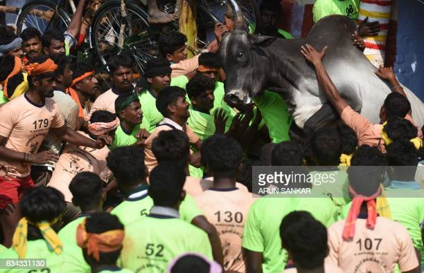 An Indian bull jumps through a crowd of onlookers during an annual bull taming event 'Jallikattu' in the village of Palamedu on the outskirts of...