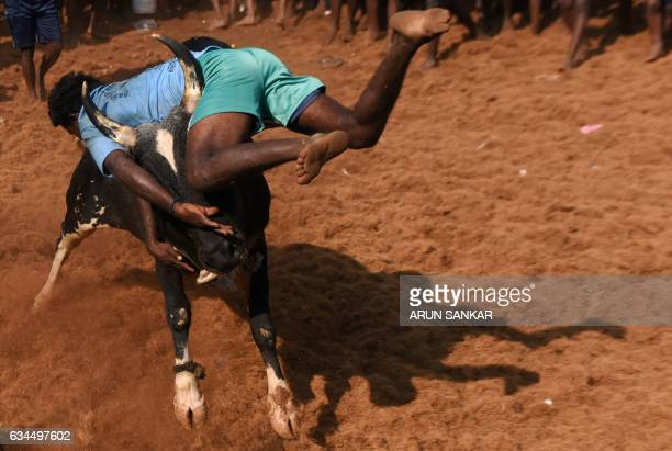 An Indian bull throws a man during an annual bull taming event 'Jallikattu' in the village of Allanganallur on the outskirts of Madurai on February...