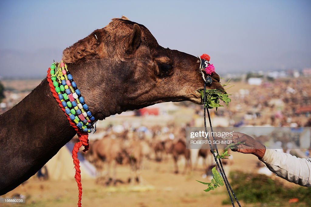 An Indian camel owner feeds his camel leaves from a tree branch at the camel fair grounds in the outskirts of the small town of Pushkar on November 23, 2012. Thousands of livestock traders from the region come to the traditional camel fair where livestock, mainly camels, are traded. This annual five-day camel and livestock fair is one of the world's largest camel fairs. AFP PHOTO/ Roberto Schmidt