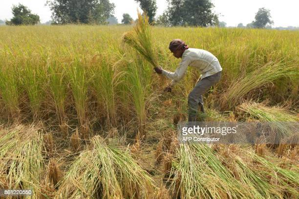 An Indian farm labourer cuts paddy crop in a field on the outskirts of Amritsar on October 14 2017 / AFP PHOTO / NARINDER NANU