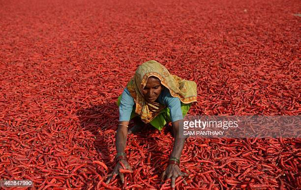 An Indian farm labourer dries newlyarrived chillies at a farm in Sertha some 25 kms from Ahmedabad on February 6 2015 Farm owner Jivanlal Patel says...