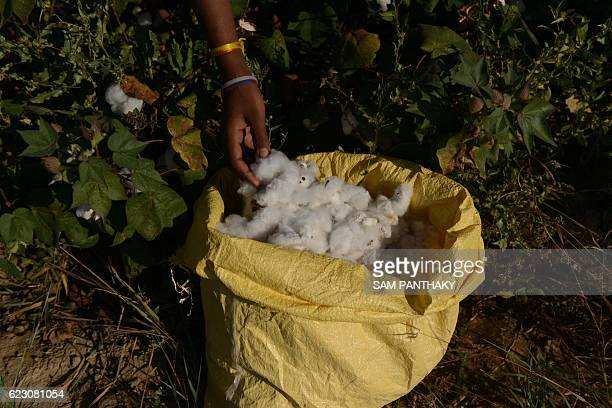 An Indian farm labourer harvests cotton in a field near Medha village in Kadi Taluka some 35kms from Ahmedabad on November 13 2016 / AFP / SAM...