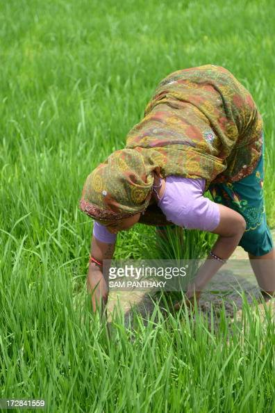 An Indian farm labourer works in a paddy field near Narimanpura village on the outskirts of Ahmedabad on July 5 2013 Indian President Pranab...
