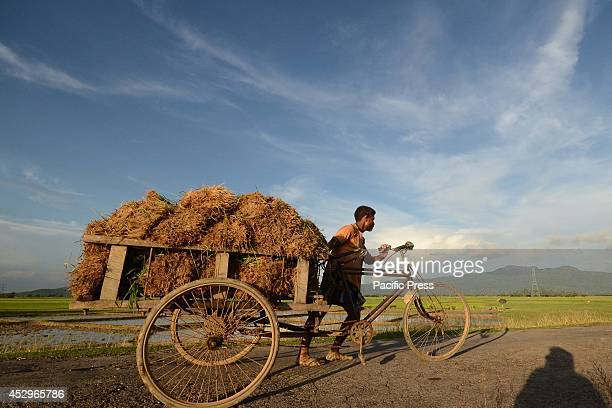 An Indian farmer carries rice seedlings on his three wheeled cart for replanting in a paddy field in Nagaon some 180km East of Guwahati India is one...