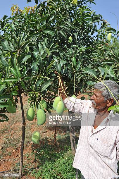 An Indian farmer checks the mango crop in his field on the outskirts of Hyderabad on May 3 2012 The mango is native to the Indian subcontinent from...