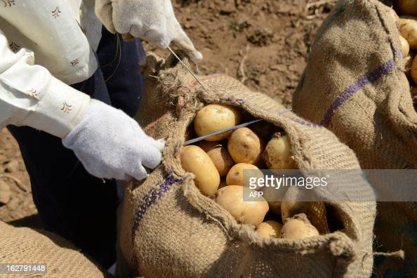 An Indian farmer closes a sack of potatoes at a field at Nadol village of Dehgam Taluka some 35 kms from Ahmedabad on the eve of announcement of...