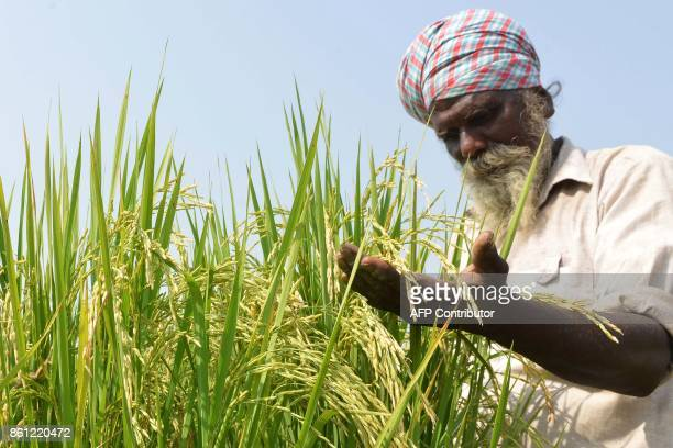 An Indian farmer examines his crop of paddy in a field on the outskirts of Amritsar on October 14 2017 / AFP PHOTO / NARINDER NANU