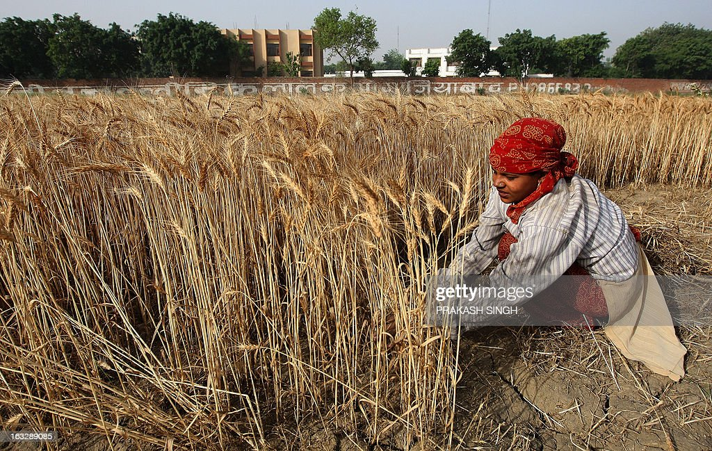 An Indian farmer harvests a crop of wheat in a field in Ghaziabadsome 35kms east of New Delhi on April 23 2008 The Indian government has decided to...