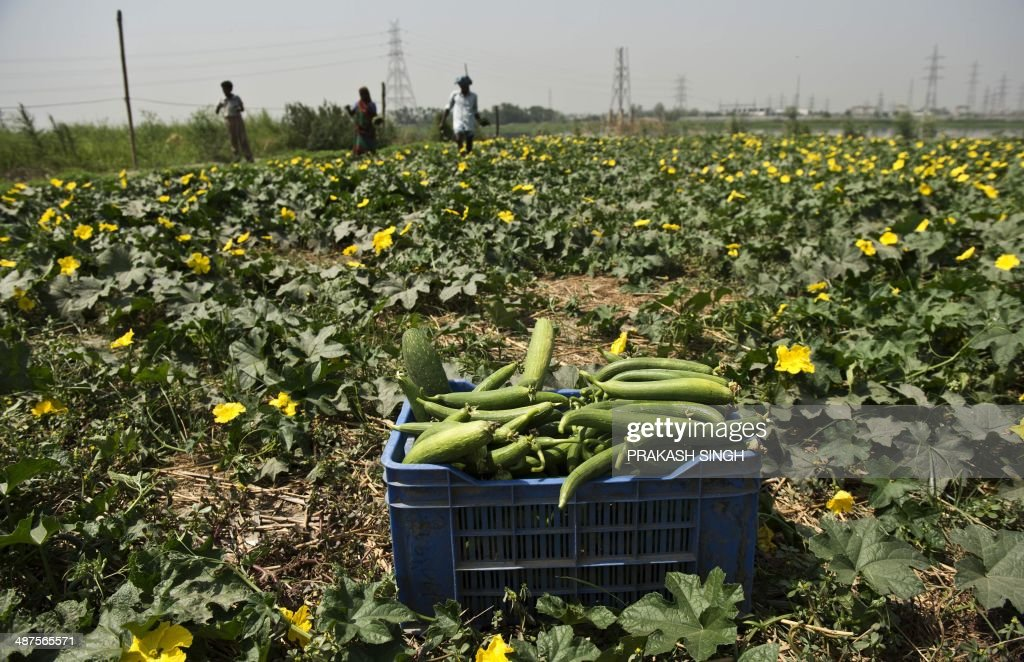 An Indian farmer harvests a ridge gourd crop to be sold at a market in New Delhi on May 1, 2014. Over 70 percent of Indians depend on agricultural incomes and about 65 percent of India's farms depend on rains that fall between June and September. AFP PHOTO / Prakash SINGH