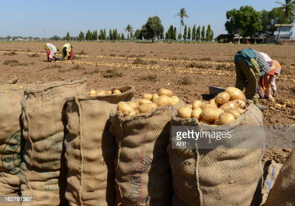 An Indian farmer harvests potatoes at a field at Nadol village of Dehgam Taluka some 35 kms from Ahmedabad on the eve of announcement of Union Budget...