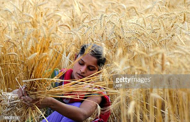An Indian farmer harvests wheat at a field near Allahabad on April 8 2013 India is one of the world's largest wheat producers as well as one of its...