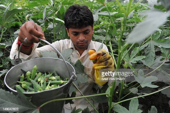 An Indian farmer plucks lady fingers in a field at Lavad village some 40 kms from Ahmedabad on July 22 2012 Owing to uncertain ratio of rains in...