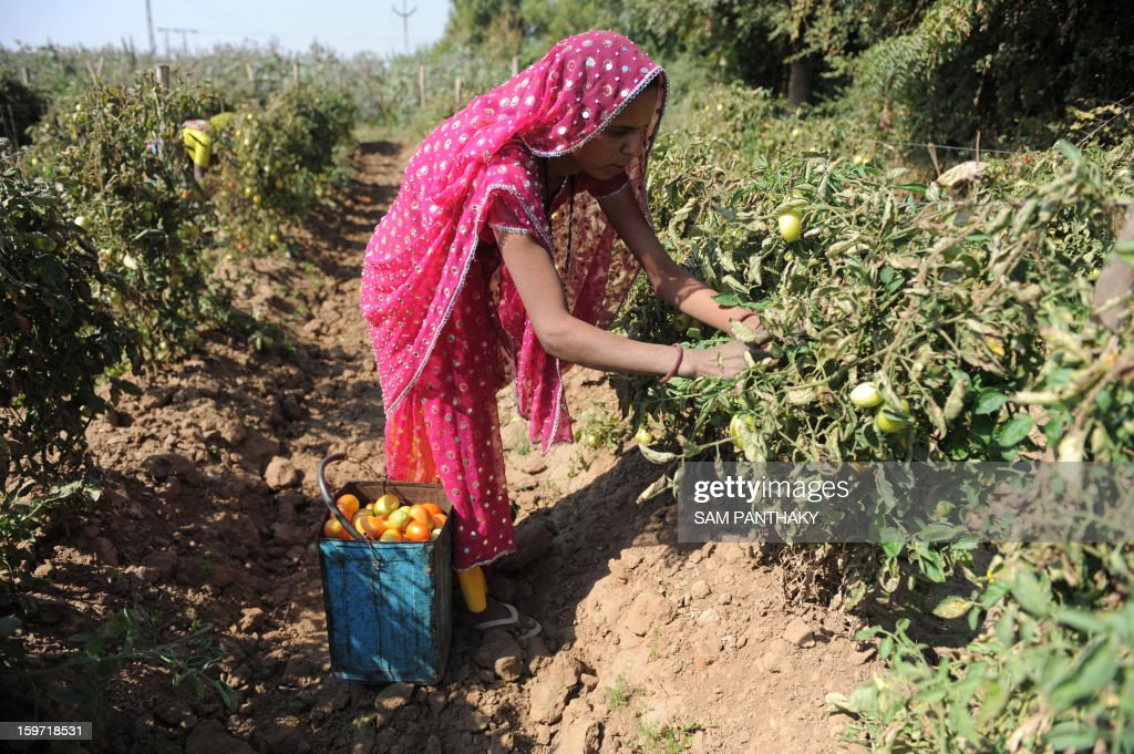 An Indian farmer plucks tomatoes at a field near Medha village of Kadi Taluka, some 35 kms. from Ahmedabad, on January 19, 2013. The export of tomatoes from India to Pakistan have been affected following the tense border situation between the two countries. AFP PHOTO / Sam PANTHAKY