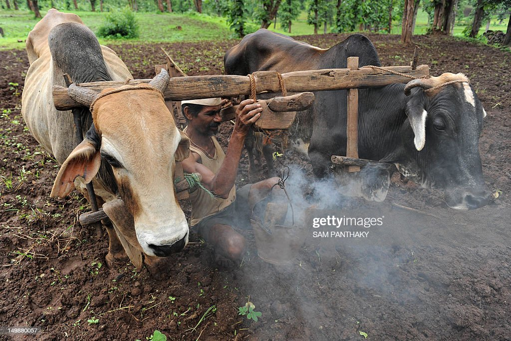 An Indian farmer prepares a smoky fire before ploughing his field with his livestock near Ahwa town, some 375 kms from Ahmedabad, on August 5, 2012. The farmers of this region make use of traditional firewood to raise smoke to protect themselves and their bullocks from mosquitoes and insects. This year's monsoon has been more than 20 percent below its average, sparking fears of drought among farmers who remember vividly the failure of 2009, when India suffered its worst drought in nearly four decades. AFP PHOTO / Sam PANTHAKY