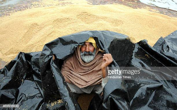 An Indian farmer protecting himself with plastic sheet as pile of wheat grains get soaked during rainfall at Village Mehmadpur open grain market on...