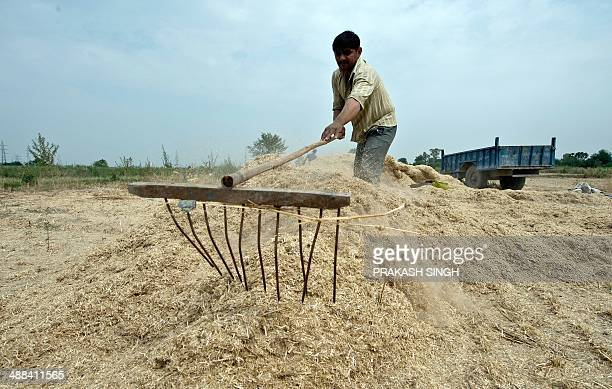 An Indian farmer rakes wheat straw to be used as animal fodder at his field in New Delhi on May 6 2014 The standard rate for wheat or bajra straw...