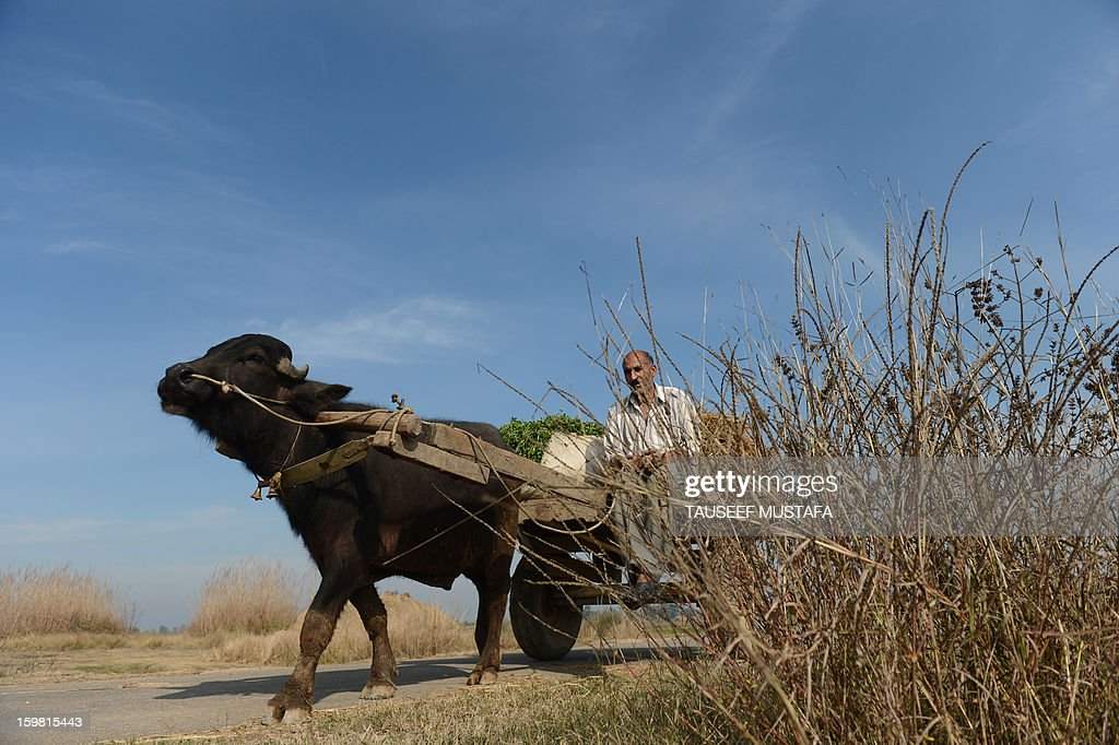 An Indian farmer rides a ox-driven cart near the India-Pakistan border in Suchit-Garh, some 36 kms southwest of Jammu, on January 21, 2013. On both sides of the de facto border in Kashmir, villagers living on one of the world's most dangerous flash points have special reason to fear the return of tension between India and Pakistan. The spike in cross-border firing in Kashmir -- a region claimed wholly by both India and Pakistan -- has seen five soldiers killed in recent days and threatened to unravel a fragile peace process that had begun to make progress. AFP PHOTO/ Tauseef MUSTAFA